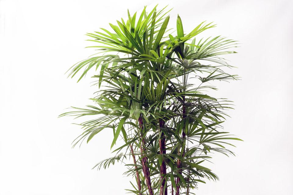 棕櫚竹(シュロチク)