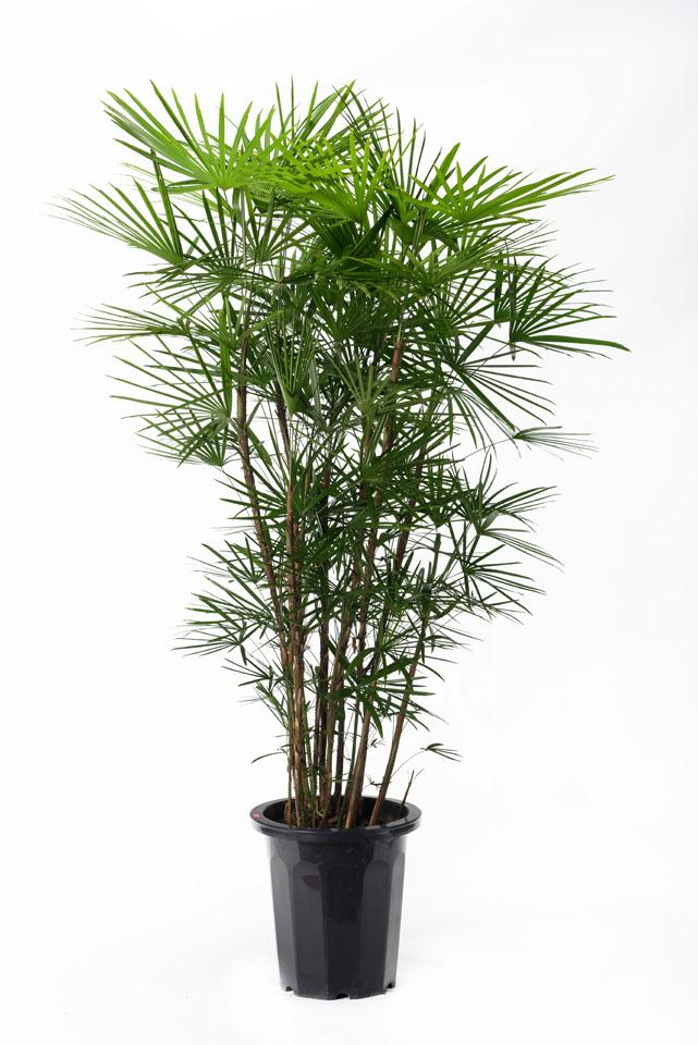 雲南棕櫚竹(ウンナンシュロチク)